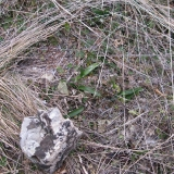 Anacamptis pyramidalis v zimě