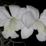Cattleya walkeriana Pendentive