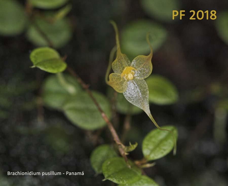 brachionidium-pusillum