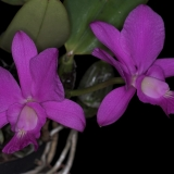 Cattleya walkeriana