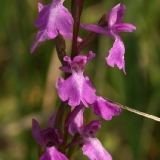 Orchid palustris 2