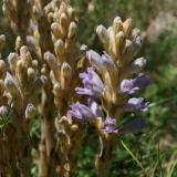 Orobanche purpurea subsp. bohemica