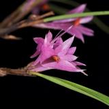 Dendrobium violaceum typ 1