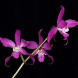 Laelia autumnalis
