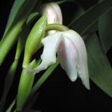 Maxillaria aff.grandiflora (Peru)