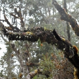 Dendrobium wentianum