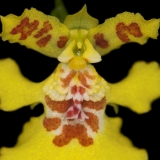 Oncidium crista-galli