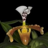 Paphiopedilum gratrixianum var. daoense