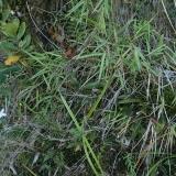 Bulbophyllum cruentum