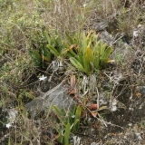 Paphiopedilum wilhelminae a Bulbophyllum cruentum
