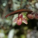 Pedilochilus sp. in situ New Guinea