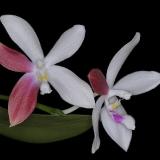 Phalaenopsis speciosa