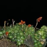 Bulbophyllum subtenellum