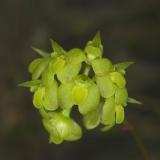 Bulbophyllum xylophyllum