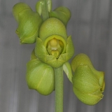 Catasetum ochraceum