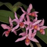 Cattleya x guatemalensis