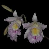 Cattleyopsis lindenii