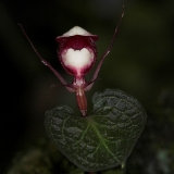 Corybas sp. Nová Guinea