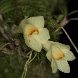Dendrobium cuthbertsonii_2