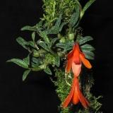 Dendrobium cuthbertsonii_5