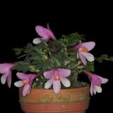 Dendrobium cuthbertsonii_6