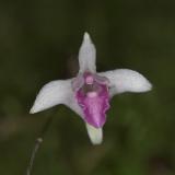 Dendrobium garrettii_2