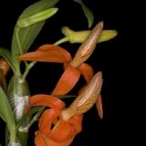 Dendrobium unicum_2