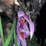 Dendrobium violaceum cyperifolium