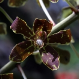 Grammatophyllum scriptum_2