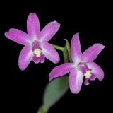 Laelia caulescens