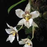 Lemboglossum cervantesii