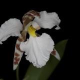 Lemboglossum ehrenbergii