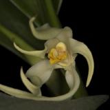 Maxillaria inaudita