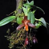 Maxillaria suarezorum