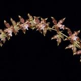 Odontoglossum luteopurpureum_3