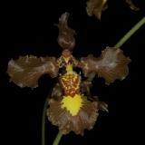 Oncidium gravesianum