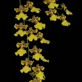 Oncidium marshallianum