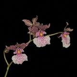 Oncidium mimeticum_2