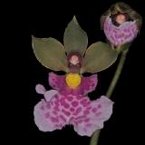Oncidium mimeticum_3