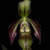Paphiopedilum sangii_2