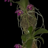 Phalaenopsis pulchra_2
