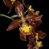 Rossioglossum splendens_2