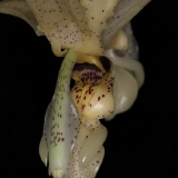 Stanhopea aff.nigripes