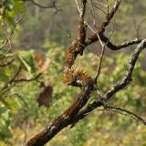 Dendrobium capilipes