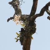 Dendrobium signatum, Eria sp., Aerides sp.
