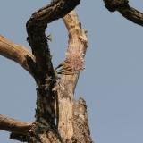 Dendrobium signatum