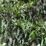 Lokalita Phragmipedium reticulatum