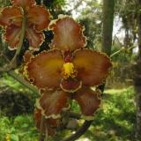 Cyrtochilum sp.