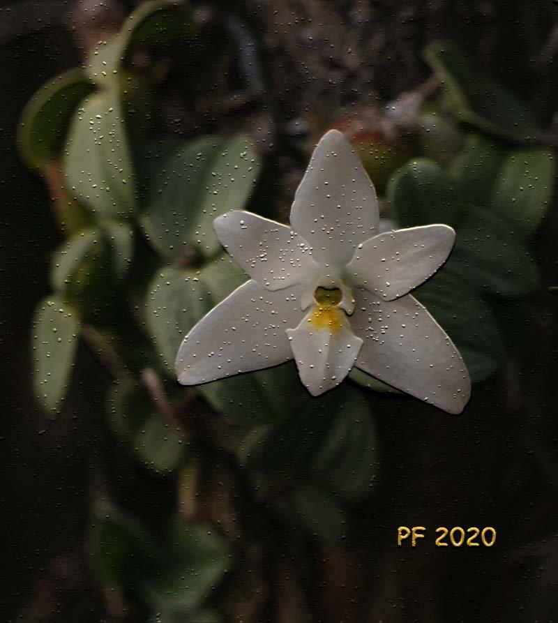 constantia-cipoensis-copy