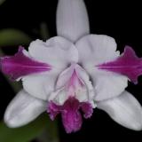 Cattleya intermedia var.aquinii